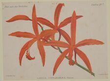COGNIAUX GOOSSENS LAELIA CINNABARINA BATEM ORCHIDEE ORCHIDS ORCHIDEE FIORI 1800