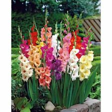 25 Mixed Large Flowering Gladiolus Bulbs Home Garden Decor Beautiful Flowers