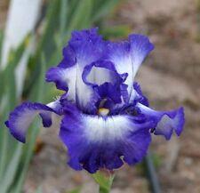 Tall Bearded Iris - TIME ZONE