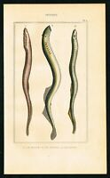 1844 Lamprey Eels Jawless Fishes, Hand-Colored Antique Engraving Print, Lacepede