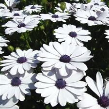 50 WHITE AFRICAN CAPE DAISY Dimorphotheca Sinuata Flower Seeds *Comb S/H & Gift