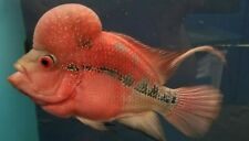 "7""-8"" Super Red Dragon SRD Flowerhorn Male Live Tropical Fish Healthy Guaranteed"