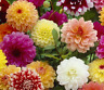 ZINNIA flor de DALIA flor doble   VARIADA 300 semillas