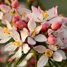 Choisya ternata Apple Blossom scented evergreen shrub in 9cm pot