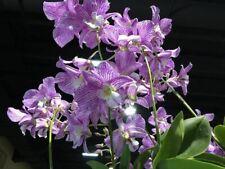 Dendrobium Hawaii Stripes (Roy Tokanuga X Nida) Orchid Hybrid 4� (15)
