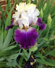 Tall Bearded Tb Iris Slovak Prince white black-purple Perennial Plant Rhizome