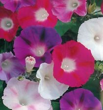 * MORNING GLORY * MIXED COLORS * GIANT 4 INCH FLOWERS *