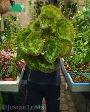 Begonia sizemoreae - Sehr großwerdende Begonie mit haarigen Blättern