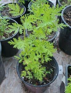 2 LIVE PLANTS Artemisia Annua sweet wormwood Sweet Annie plants