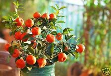 Citrus Variety Pack - Bonsai Lemon and Orange Seeds - Grow indooors/outdoors