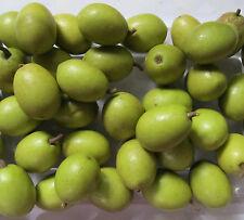 Live Ceylon Olive Plant Jolpai Plant One Plant
