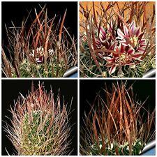 10 semi di Echinofossulocactus  lloydii ,piante grasse,seeds cactus