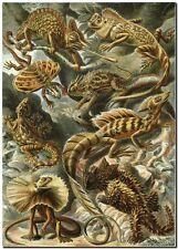 """ERNST HAECKEL CANVAS PRINT Art Nouveau Lizard 36""""X 24"""" Lacertilia"""