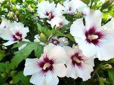 Gartenhibiskus Straucheibisch weiss rose HAMBO 30 Samen