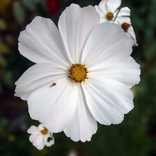 25 graines de COSMOS BLANC (Cosmos Bipinnatus White)X136 SEEDS SAMEN SEMILLAS
