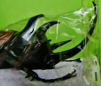 Large Five-Horned Rhinoceros Beetle Eupatorus gracilicornis Male Taxidermy USA