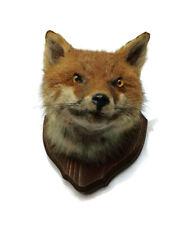 Real Red Fox Head Taxidermy