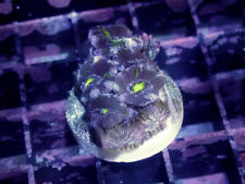Purple Poison Ultra Acan Lord -Wysiwyg Live Coral Frag- Coral Savers