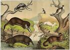 Badgers Ferrets Weasels 1870s Antique Full Color Engraving Poster Print