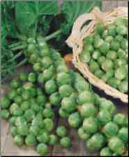 Heirloom BRUSSEL SPROUT Long Island Improved❋3000 SEEDS❋HEAVY YIELDS❋100 Days