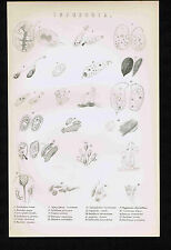 Infusoria - Aquatic Creatures - 1880s Science Print