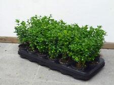 20 Buchsbaum Höhe 25cm Buxus Sempervirens Bux Buchs (0,94€ pro Pflanze)