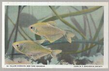 [25319] OLD POSTCARD YELLOW CHARACIN FISH AT THE NEW YORK AQUARIUM