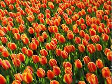 NATURE LANDSCAPE FLOWER TULIP RED YELLOW GREEN POSTER ART PRINT PICTURE BB1435B