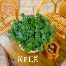 Pilea Bonsai Potted Plants Garden 100 PCS Seeds Rare Free Shipping Ornamental N