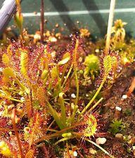 Oltre 30 semi Drosera intermedia inverno di duro medie insettivora Sundew seeds