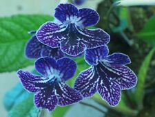 LITTLE KAN Streptocarpus Plant - IN BLOOM!  8-8