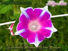 Kikyo Rose Japanese Morning Glory 6 Seeds