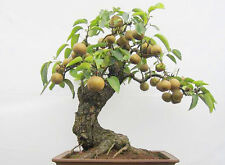 Pear Tree Seeds Bonsai Seed Pear Seeds Bonsai Tree Fruit Seed Sweet Pear 10 PCS