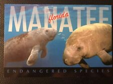 Postcard Unposted Florida, The West Indian Manatee Or Sea Cow