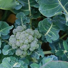 Broccoli Seeds- Di Ciccio  Heirloom- 400+ 2016 Seeds   $1.69 Max. Shipping/order