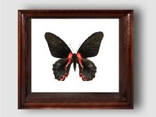 Papilio rumanzovia female in the frame of expensive breed of real wood.
