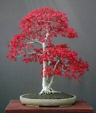 5 Redleaf Japanese Maple Tree semi di semi di ALBERO. che può essere utilizzato per bonsai.