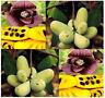 BULK Asimina triloba, the pawpaw, paw paw, paw-paw TREE SELECT  FRESH SEEDS  A++