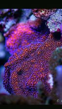 Live coral frags