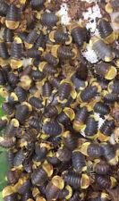 Cubaris Rubber Ducky Isopods 5 Reptile Terrarium Free Shipping LAG