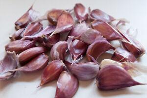 """""""Chesnok Wight""""Garlic seed cloves for giant bulbs huge sweet & mild 50 cloves"""