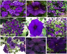 Purple Petunia Flowers Over 100 Seeds