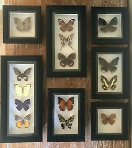 Framed real butterflies triple insects wall decor curio gift taxidermy