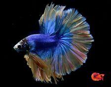 Blue Grizzle Yellow Halfmoon Big Fan Tail - Live Male Betta Fish - High Grade A+