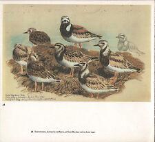 BEAUTIFUL VINTAGE BIRD PRINT ~ NANT BYCHAN ROCKS TURNSTONES ~ TUNNICLIFFE