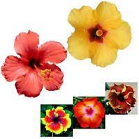 100 stück Riesen Hibiskus Samen 24 Farben Dinnerplate Hibiskus Mehrjährige I2W7