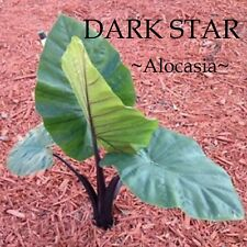 ~DARK STAR~ Alocasia HUGE BLACK Elephant Ear Live Sml potd starter Plant