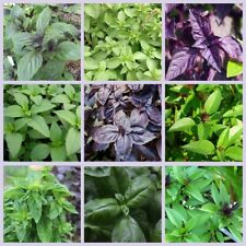 100Pcs Basil Herb seeds Ocimum 10 Kinds Garden Delicious Fragrant spice Annual