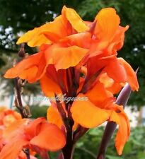 2 Canna Wyoming Orange flowering Bronze foliage 2 bulbs/Rhizome lily flower