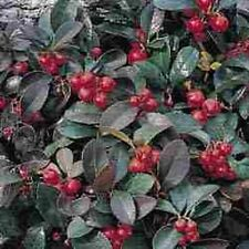 35+ WINTERGREEN FLOWER SEEDS / PERENNIAL